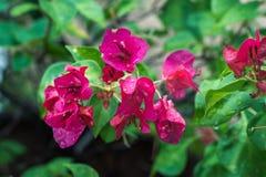 Marigold. Flower Leaves deepping tree green dropofwater rain Stock Images