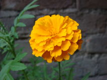 Marigold flower and leaves. Picture of marigold flower and leaves Royalty Free Stock Photography