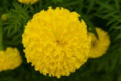 Marigold flower. Marigold flower in the garden at home stock photo