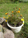 Marigold flower Royalty Free Stock Photos