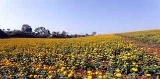 Marigold flower meadow in blue sky Royalty Free Stock Photos