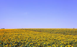 Marigold flower meadow in blue sky Royalty Free Stock Photo
