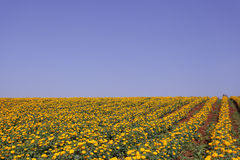 Marigold flower meadow in blue sky Stock Image