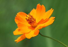 Marigold flower over green. Close up of marigold flower over green Stock Photo