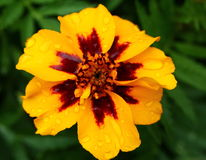 Marigold flower with raindrops Stock Image