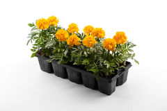 marigold flower seedlings isolated on white Royalty Free Stock Photography