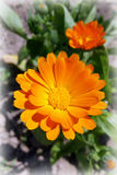 Marigold flower. Shining in the sun Royalty Free Stock Images