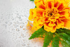 Marigold flower Royalty Free Stock Photo