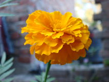Marigold flower stands at fully blossom. Picture of marigold flower stands at fully blossom Royalty Free Stock Photography