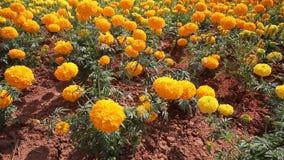 Marigold flower in summer season stock video footage
