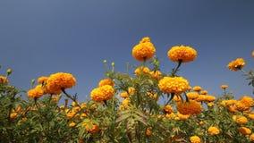 Marigold flower in summer season stock footage
