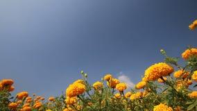 Marigold flower in summer season stock video