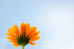 Marigold. Flower in the sunlight against the blue sky Stock Photography