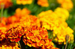Marigold flower Stock Photography