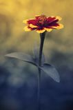 Marigold flower at sunset Royalty Free Stock Photography