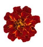 Marigold flower (Tagetes) Stock Photo
