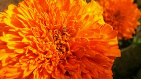 Marigold flower or Tagetes Marigolds or calendula officinalis or caltha or ganda or gols bloom or garden marigold or gold bloom or Royalty Free Stock Photo