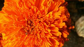 Marigold flower or Tagetes Marigolds or calendula officinalis or caltha or ganda or gols bloom or garden marigold or gold bloom or Royalty Free Stock Photography