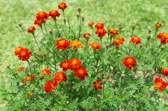 Marigold. Flower or tagetes patula in blossom in the garden royalty free stock photography