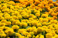 marigold flower texture Stock Image
