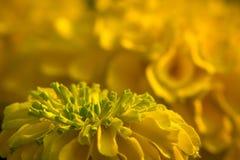 Marigold. A marigold flower up close Stock Photos