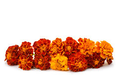 Marigold flower Royalty Free Stock Images