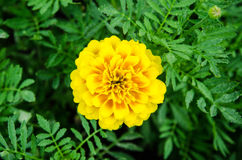 Marigold flower. Yellow marigold flower in the garden stock image