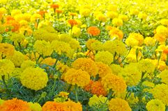 Marigold Flowerbed 2 Stock Photos