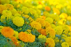 Marigold Flowerbed. A flowerbed of orange and yellow marigolds. Shallow depth of field stock images