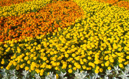 Marigold flowerbed Royalty Free Stock Photography