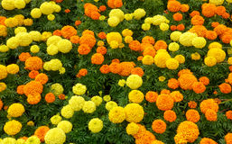 Marigold Flowerbed Stock Photo