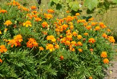 Marigold flowers in atumn garden flower bed. Marigold flowers in beautiful atumn garden flower bed royalty free stock photos