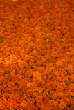 Marigold Flowers Background Royalty Free Stock Image