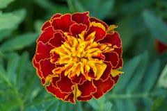 Marigold flowers. Beautiful royalty free stock photos