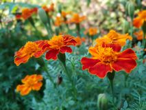 Marigold flowers. Beautiful orange marigold flowers stock photography