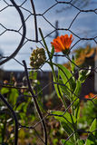 Marigold flowers behind a wire fence rustic Royalty Free Stock Photos