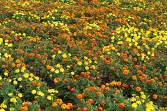 Marigold flowers blooming in field Stock Photos