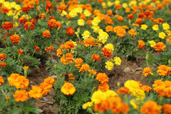 Marigold flowers blooming in field Royalty Free Stock Photo