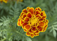 Marigold flowers. Blooming in the garden Stock Photos