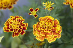 Marigold flowers. Blooming in the garden Stock Photo