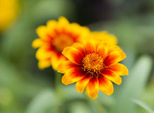 Marigold flowers. Blooming in the garden Stock Images