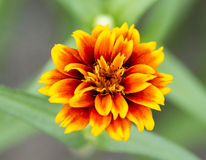 Marigold flowers Royalty Free Stock Image