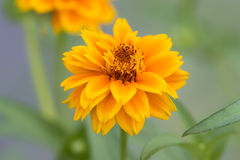 Marigold flowers. Blooming in the garden stock photography