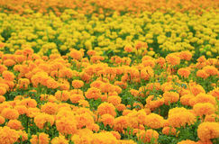 Marigold flowers. Blooming in the garden. Depth of field royalty free stock image