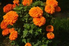 Free Marigold Flowers Blooming In Garden Stock Image - 172150521