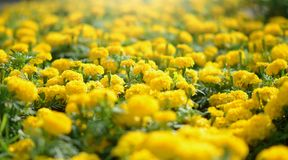 Marigold Flowers. Blossoming colorful flowerbeds in summer city park Stock Photography
