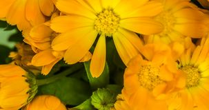 Marigold flowers bouquet time lapse. stock video footage