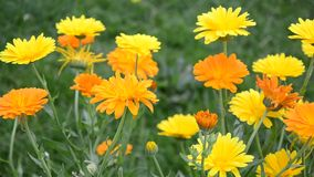 Marigold flowers in the breeze stock video