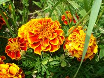 Marigold flowers. Bright orange with red and yellow fragrant  garden marigold Tagetes flowers  on a green  background,  summer flowering garden flowerbed, macro Stock Image