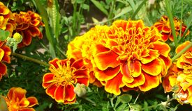Marigold flowers Stock Photos